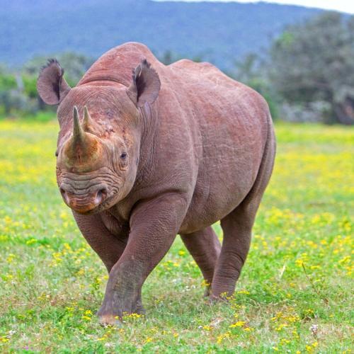 壁纸 犀牛 野生动物 500_500