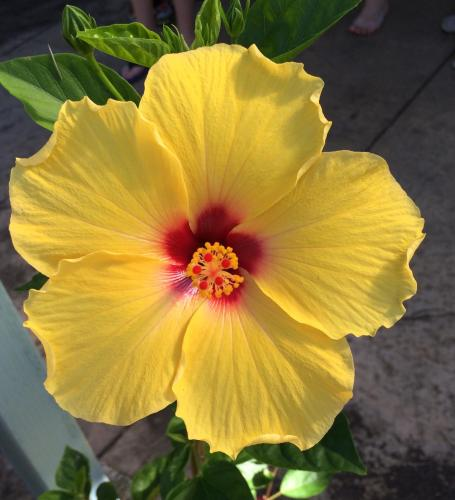 Our state flower is the beautiful Yellow Hibiscus!